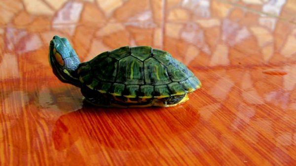 contoh descriptive text tentang hewan - brazilian turtle