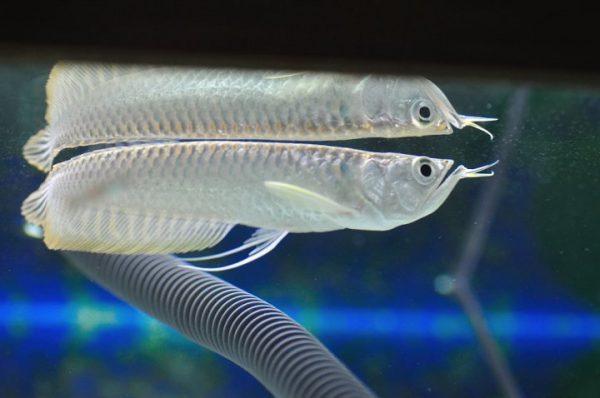 contoh teks eksposisi identifikasi - ikan arwana silver