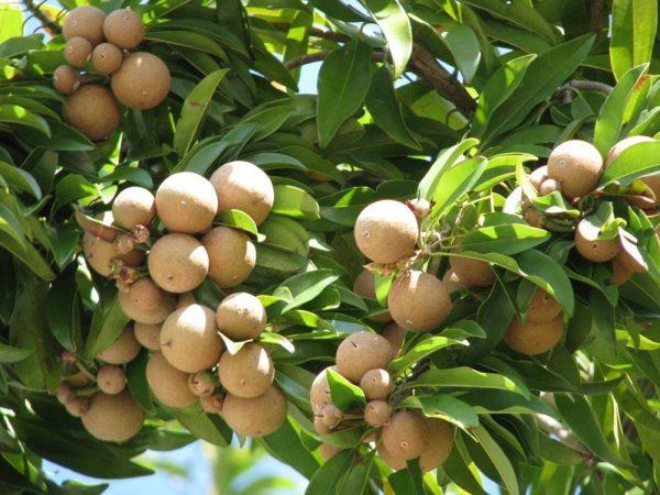 contoh teks hasil observasi tumbuhan - pohon sawo manila