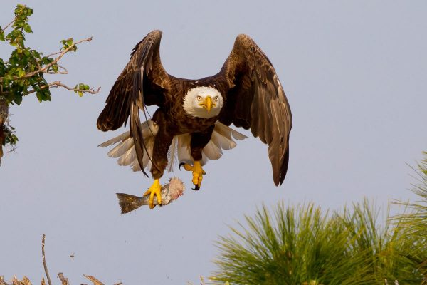 contoh report text about animal - eagle bird