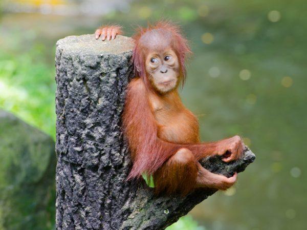 narrative text about natural conservation - the loss baby orang utan